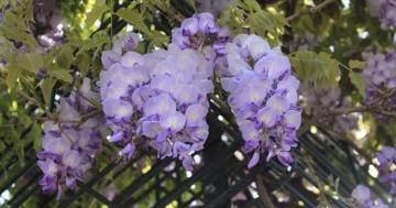 blühende Pflanzen am Rankgitter